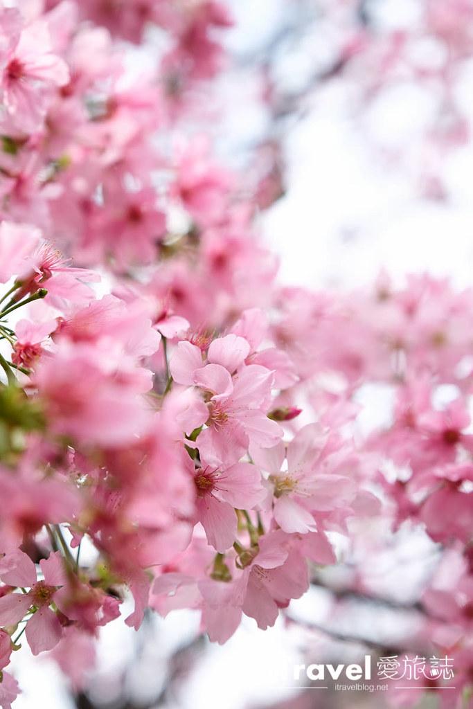 土城赏樱景点 希望之河左岸樱花 (10)