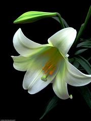 SPRING LILY