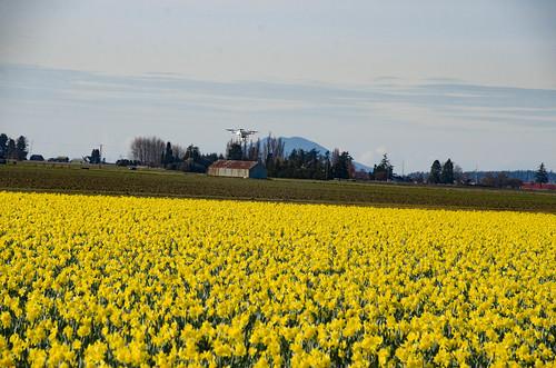 Skagit Daffodils-51