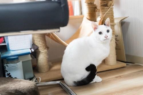 アトリエイエネコ Cat Photographer 25970124797_130d8a539b 1日1猫! 3/10オープン!保護猫カフェけやきさんへ行く(3/3) 1日1猫!  高槻ねこのおうち 里親様募集中 猫写真 猫カフェ 猫 子猫 大阪 初心者 写真 保護猫カフェけやき 保護猫カフェ 保護猫 スマホ カメラ Kitten Cute cat
