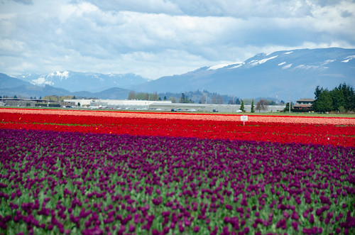 Skagit Valley Tulips-89