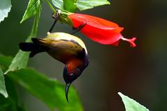Maroon-naped Sunbird (Aethopyga guimarasensis)