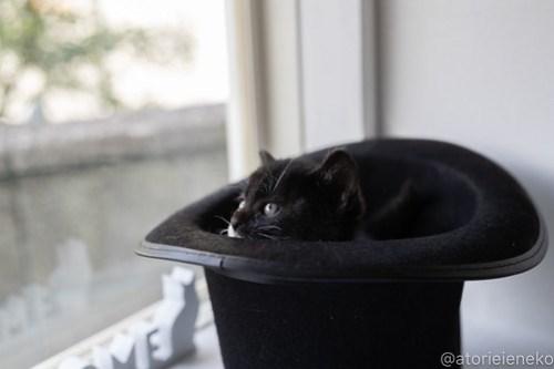 アトリエイエネコ Cat Photographer 26755624937_ae6917cf73 1日1猫!高槻ねこのおうち_キュートなハチワレ女の子♪ 1日1猫!  高槻ねこのおうち 猫写真 猫カフェ 猫 大阪 写真 保護猫カフェ 保護猫 ハチワレ スマホ カメラ Kitten Cute cat