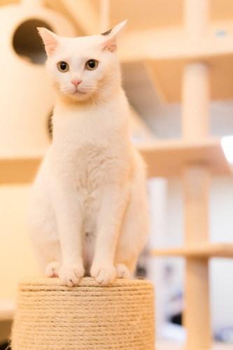 アトリエイエネコ Cat Photographer 40928795802_150dc6cac5 1日1猫!保護猫カフェみーちゃ・みーちょ その2 1日1猫!  里親様募集中 猫写真 猫 子猫 大阪 保護猫カフェ 保護猫 スマホ カメラ みーちゃ・みーちょ Kitten Cute cat