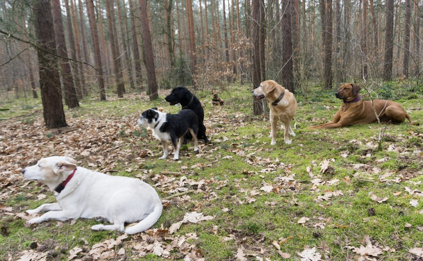 Thomas Dornbusch of Hunde-Mobil Definitely Has a Way with Canines. My Airbnb Experience in Grunewald Forest in Berlin, Germany, March 6, 2018.