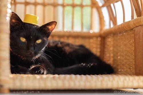 アトリエイエネコ Cat Photographer 41583675182_5ea426eae3 1日1猫!高槻ねこのおうち あきちゃん♪ 1日1猫!  高槻ねこのおうち 里親様募集中 猫写真 猫 子猫 大阪 写真 保護猫 スマホ カメラ Kitten Cute cat