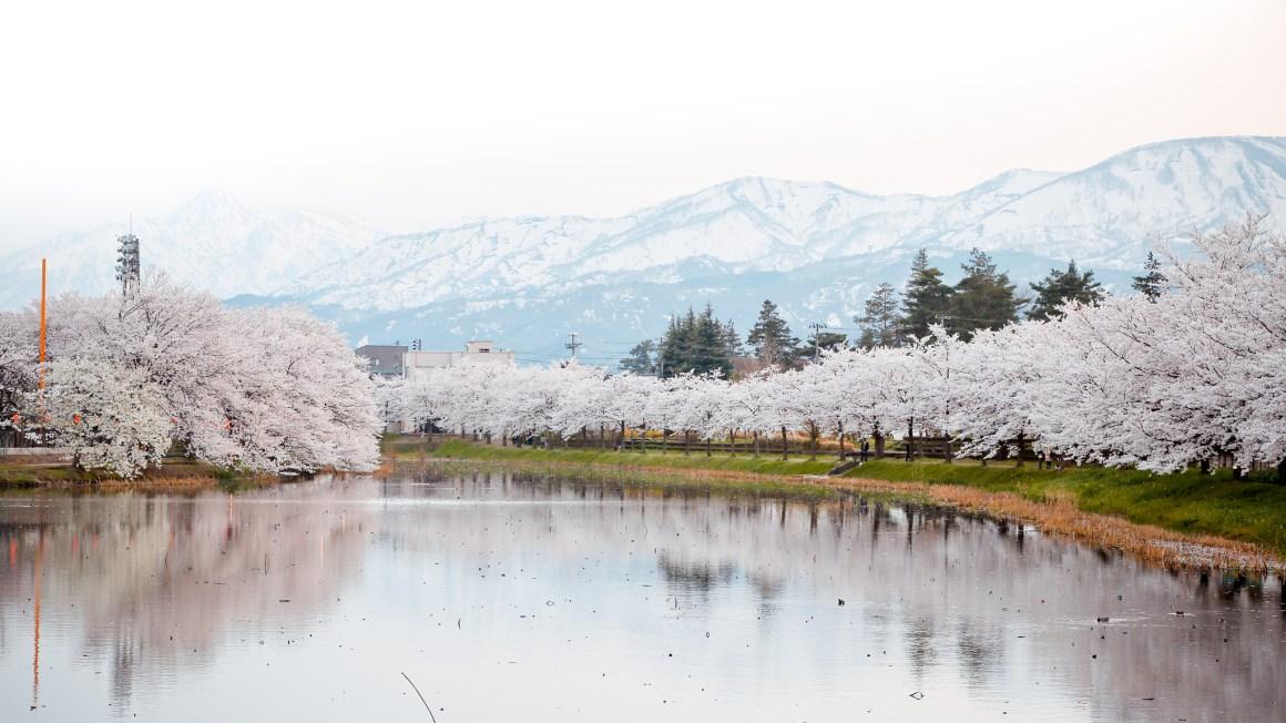 2020年日本櫻花開花預測 新潟県上越市 高田公園 櫻花