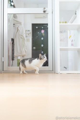 アトリエイエネコ Cat Photographer 39660131760_fbbf666be6 1日1猫!保護猫カフェねこんチ 新メンバーのパックくん! 1日1猫!  猫写真 猫カフェ 猫 大阪 初心者 写真 保護猫カフェねこんチ 保護猫カフェ 保護猫 スマホ カメラ Kitten Cute cat