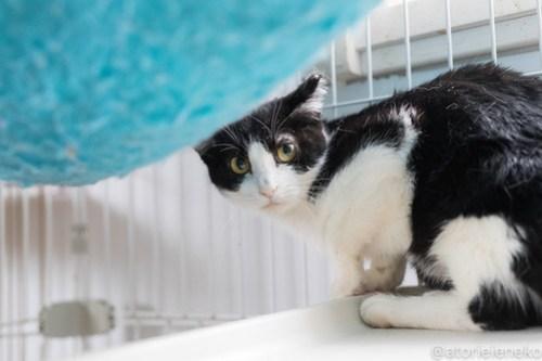 アトリエイエネコ Cat Photographer 40230996804_814248734d 1日1猫!高槻ねこのおうち はなちゃん♪ 1日1猫!  高槻ねこのおうち 里親様募集中 猫写真 猫 子猫 大阪 初心者 写真 保護猫 ハチワレ スマホ カメラ Kitten Cute cat