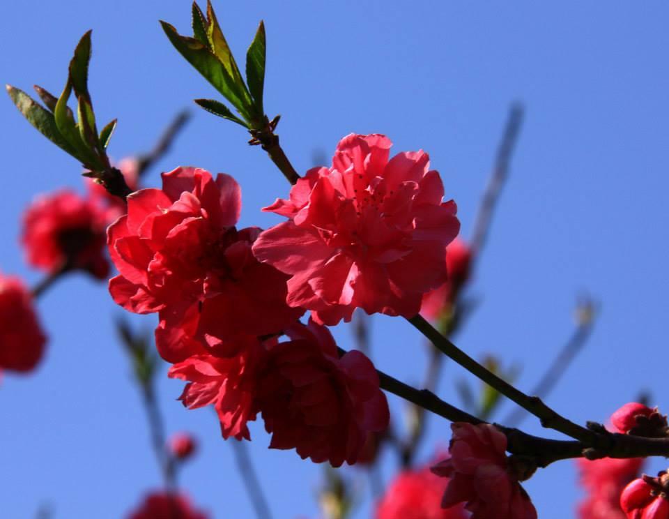 Badamwari in spring is a must visit spot in Srinagar