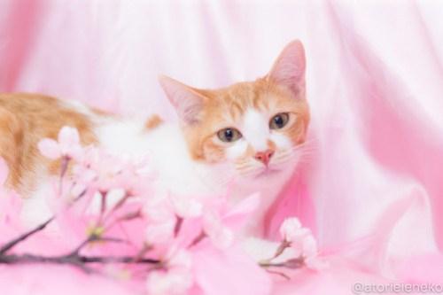 アトリエイエネコ Cat Photographer 39347722030_aa06bbb825 1日1猫!高槻ねこのおうち_カフェぽぉ譲渡会_2 1日1猫!  高槻ねこのおうち 里親様募集中 譲渡会 猫写真 猫 子猫 大阪 写真 保護猫 スマホ カメラ Kitten Cute cat