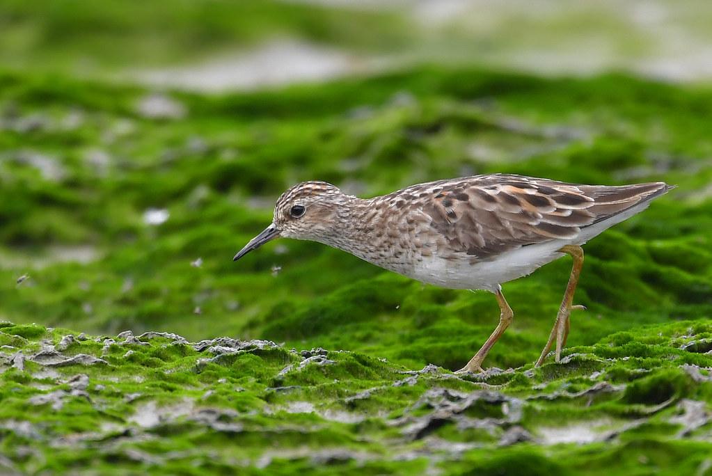 Long-Toed Stint 長趾濱鷸 - Shorebirds 涉禽 - HKBWS Forum 香港觀鳥會討論區 - Powered by Discuz!