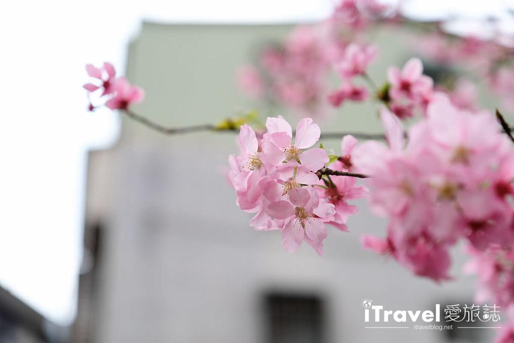 土城赏樱景点 希望之河左岸樱花 (17)