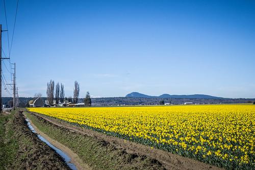 Skagit Daffodils-38