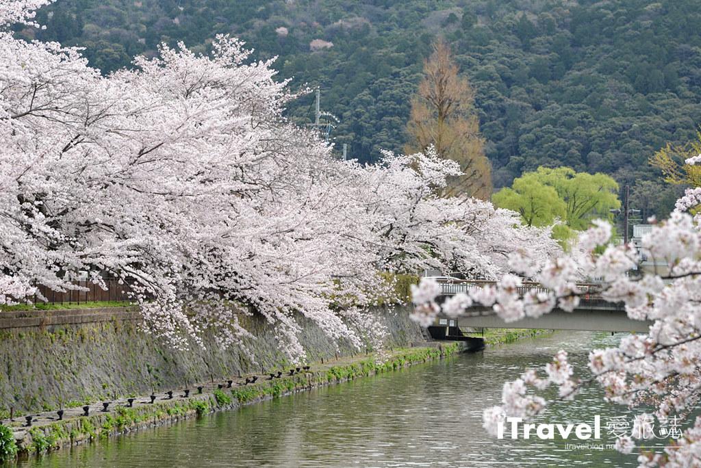 京都赏樱景点 冈崎疏水道 (34)