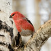 Pine Grosbeak (M)