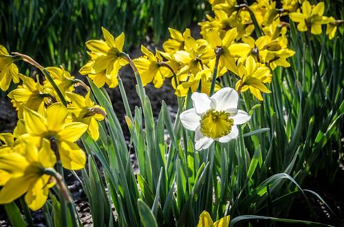 Skagit Daffodils-12