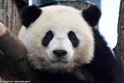 Giant Panda - Pairi Daiza