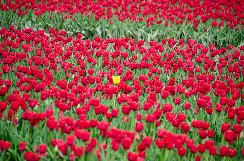 Skagit Valley Tulips-74