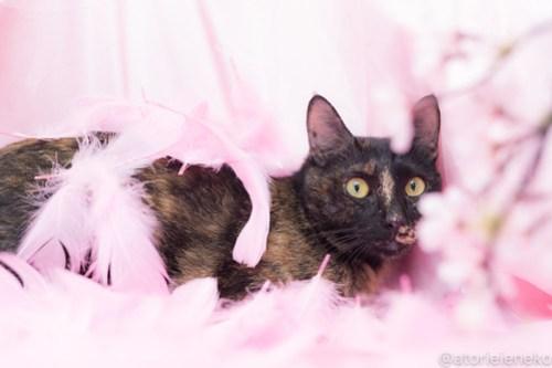 アトリエイエネコ Cat Photographer 39347723760_dce4124a71 1日1猫!高槻ねこのおうち_カフェぽぉ譲渡会_2 1日1猫!  高槻ねこのおうち 里親様募集中 譲渡会 猫写真 猫 子猫 大阪 写真 保護猫 スマホ カメラ Kitten Cute cat