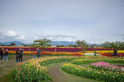 Roozengaarde Tulips-079