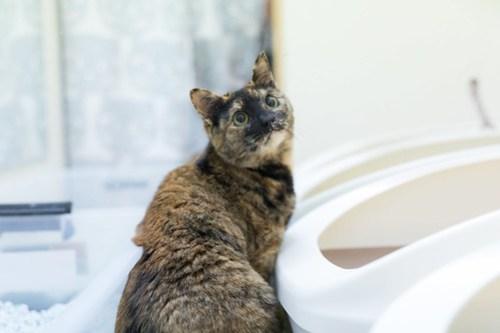アトリエイエネコ Cat Photographer 26098996467_02b0a19771 1日1猫!保護猫カフェみーちゃ・みーちょ その2 1日1猫!  里親様募集中 猫写真 猫 子猫 大阪 保護猫カフェ 保護猫 スマホ カメラ みーちゃ・みーちょ Kitten Cute cat