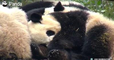 Sprinkly panda cubs