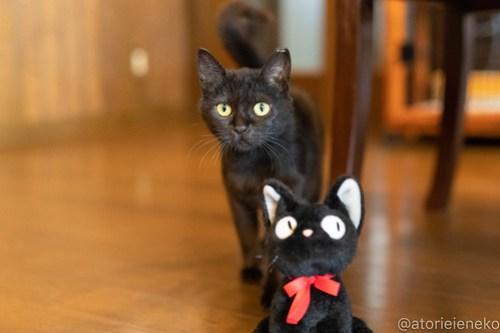 アトリエイエネコ Cat Photographer 40536153635_6fc4baebc8 1日1猫!CaraCatCafe 里親様募集中のレイラちゃん♪ 1日1猫!  黒猫 里親様募集中 箕面 猫写真 猫 子猫 大阪 初心者 写真 保護猫カフェ 保護猫 スマホ カメラ Kitten Cute cat caracatcafe