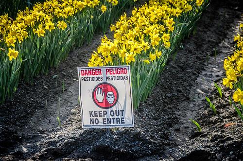 Skagit Daffodils-29