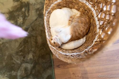 アトリエイエネコ Cat Photographer 27167994367_0df1d78738 1日1猫!保護猫カフェ 森のねこ舎 (や)に行ってきた♪その1 1日1猫!  里親様募集中 猫写真 猫カフェ 猫 子猫 大阪 写真 保護猫カフェ 保護猫 スマホ カメラ Kitten Cute cat