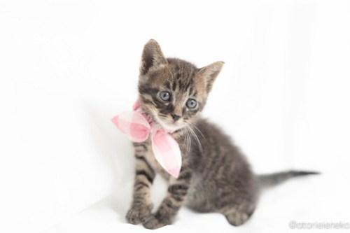 アトリエイエネコ Cat Photographer 41053465515_aac17aec18 1日1猫!高槻ねこのおうち つばさくん♪ 1日1猫!  高槻ねこのおうち 里親様募集中 猫写真 猫 子猫 大阪 写真 保護猫 キジ猫 Kitten Cute cat