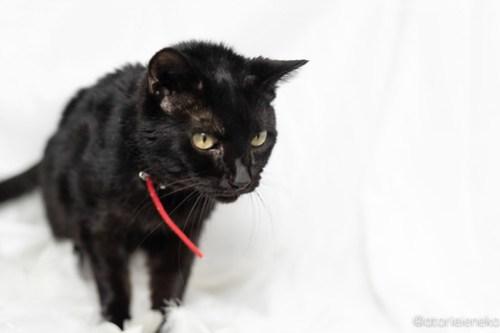 アトリエイエネコ Cat Photographer 41234436924_858eb744c6 あーちゃんが亡くなりました 1日1猫!  高槻ねこのおうち