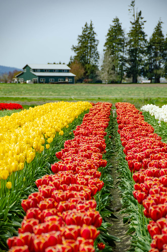 Skagit Valley Tulips-64