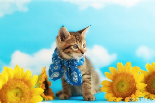 アトリエイエネコ Cat Photographer 40060605040_6211d1836d 1日1猫!ニャンとぴあキャッツ 里親様募集中のサンマくん♪ 1日1猫!  里親様募集中 猫写真 猫カフェ 猫 子猫 大阪 初心者 写真 保護猫カフェ 保護猫 ニャンとぴあ スマホ キジ猫 カメラ おおさかねこ倶楽部 Kitten Cute cat