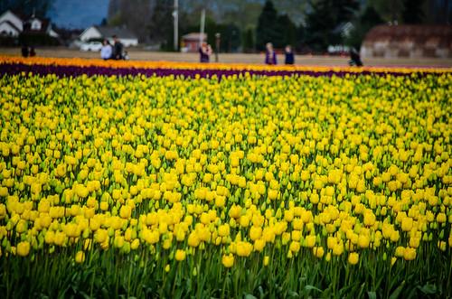 Roozengaarde Tulips-086