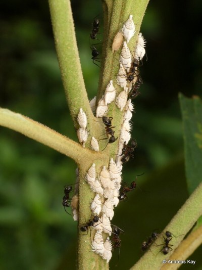 Ants tending treehopper nymphs for honeydew