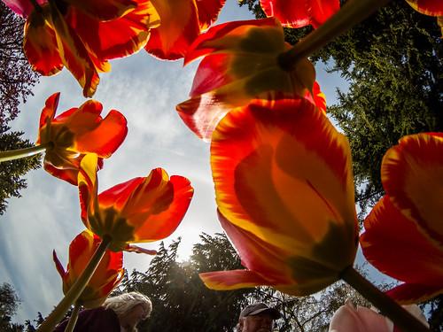 Skagit Valley Tulips-172