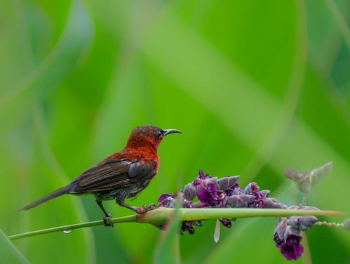 Crimson sunbird in water canna