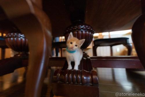 アトリエイエネコ Cat Photographer 43355752832_dbdde3db27 1日1猫!CaraCatCafe天使に会いに行って来ました♪ 1日1猫!  里親様募集中 猫 子猫 大阪 初心者 写真 保護猫カフェ 保護猫 スマホ カメラ Kitten Cute cat caracatcafe