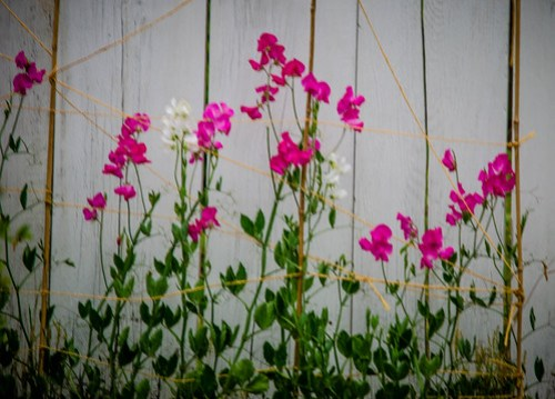 Yard Sweet Peas