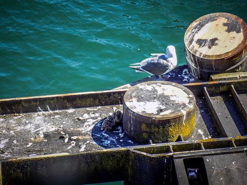 Sea Gull Chicks-001