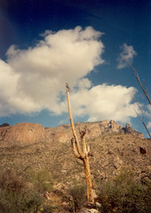 hawk on dead saguaro