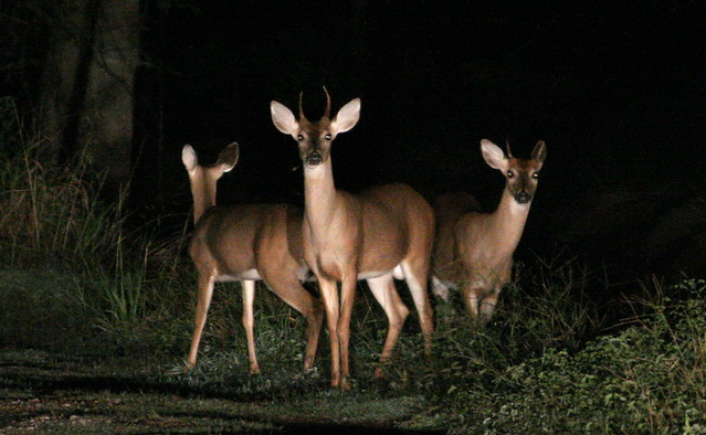 Deer in the headlights  Flickr  Photo Sharing