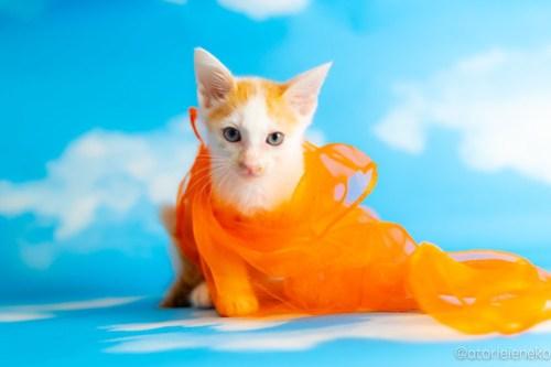 アトリエイエネコ Cat Photographer 41438782540_400c2306bb 1日1猫!おおさかねこ俱楽部 里親様募集中のモヒカンくん♪ 1日1猫!  里親様募集中 猫写真 猫カフェ 猫 子猫 大阪 初心者 写真 保護猫カフェ 保護猫 ニャンとぴあ スマホ カメラ おおさかねこ倶楽部 Kitten Cute cat