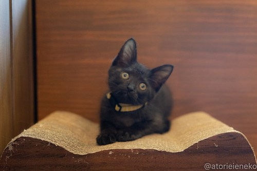 アトリエイエネコ Cat Photographer 42499465745_ab83122cf5 1日1猫!CaraCatCafe天使に会いに行って来ました♪ 1日1猫!  里親様募集中 猫 子猫 大阪 初心者 写真 保護猫カフェ 保護猫 スマホ カメラ Kitten Cute cat caracatcafe