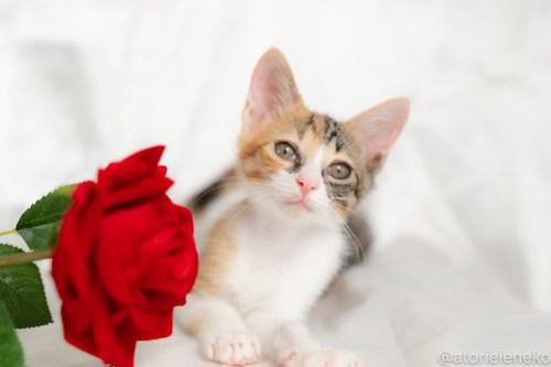 アトリエイエネコ Cat Photographer 42728374794_7ca5eac54d 1日1猫!おおさかねこ俱楽部 里親様募集中のネイちゃん♪ 1日1猫!  里親様募集中 猫写真 猫カフェ 猫 子猫 大阪 初心者 写真 保護猫カフェ 保護猫 ニャンとぴあ スマホ カメラ おおさかねこ倶楽部 Kitten Cute cat