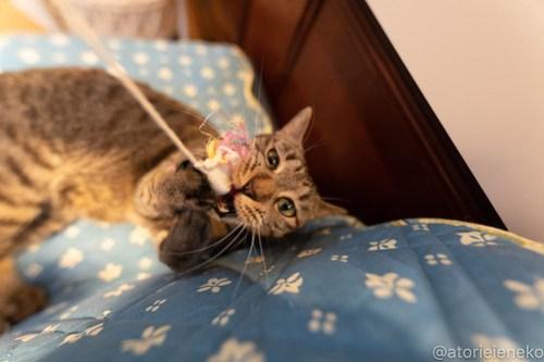 アトリエイエネコ Cat Photographer 27742422968_71160695a4 1日1猫!小さな猫カフェ「ペルちゃん」に行ってきた その1♪ 1日1猫!  里親様募集中 猫写真 猫カフェ 猫 守口市 子猫 大阪 写真 保護猫カフェ 保護猫 ペルちゃん スマホ カメラ Kitten Cute cat