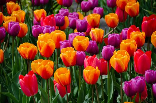Roozengaarde Tulips-058