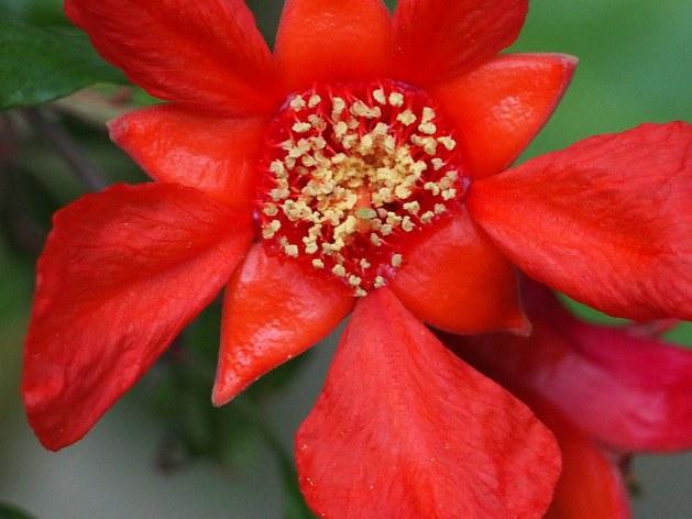 Pomegrante Flower