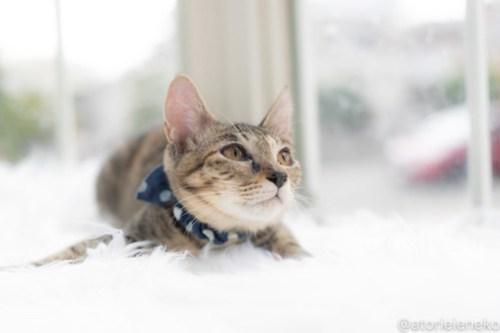 アトリエイエネコ Cat Photographer 30110289808_12e2860ee6 1日1猫!高槻ねこのおうち 里活中のリウちゃん♪ 1日1猫!  高槻ねこのおうち 里親様募集中 猫写真 猫カフェ 猫 子猫 大阪 初心者 写真 保護猫カフェ 保護猫 スマホ キジ猫 カメラ Kitten Cute cat
